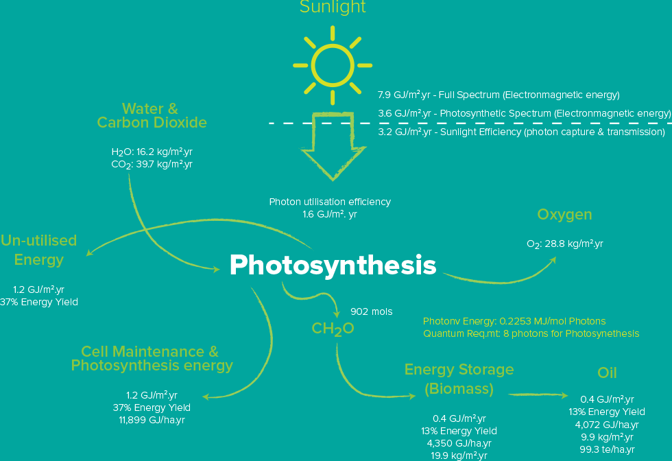 algae photosythesis In plants, algae, and cyanobacteria, pigments are the means by which the energy  of sunlight is captured for photosynthesis however, since each pigment reacts.